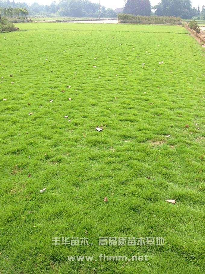 绿化草皮,马尼拉草皮照片-1