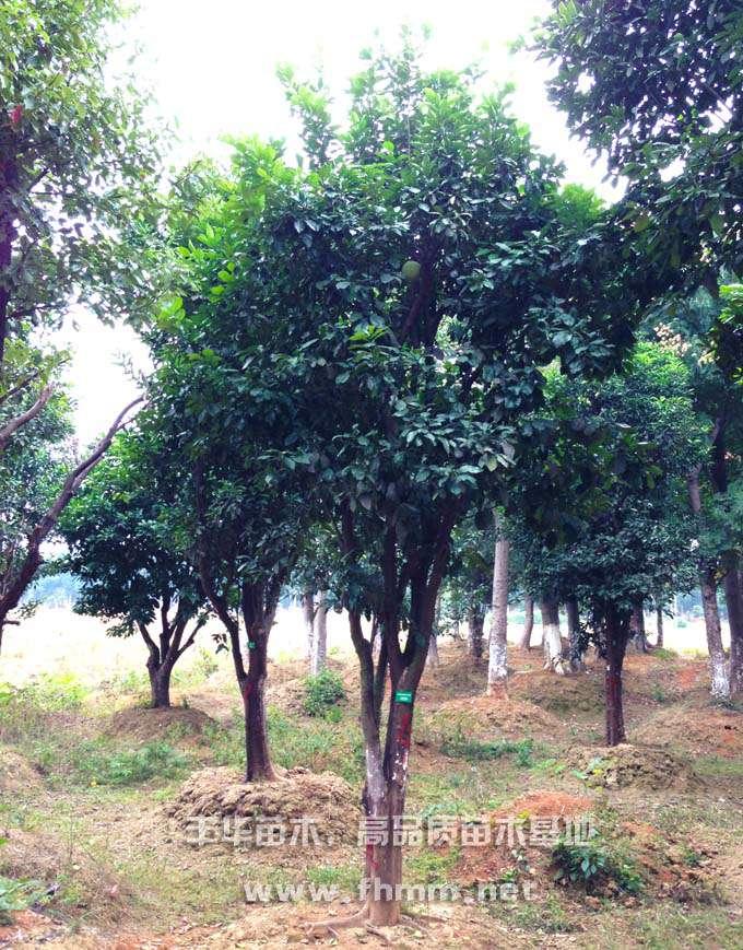 15-25移栽柚子树照片-1