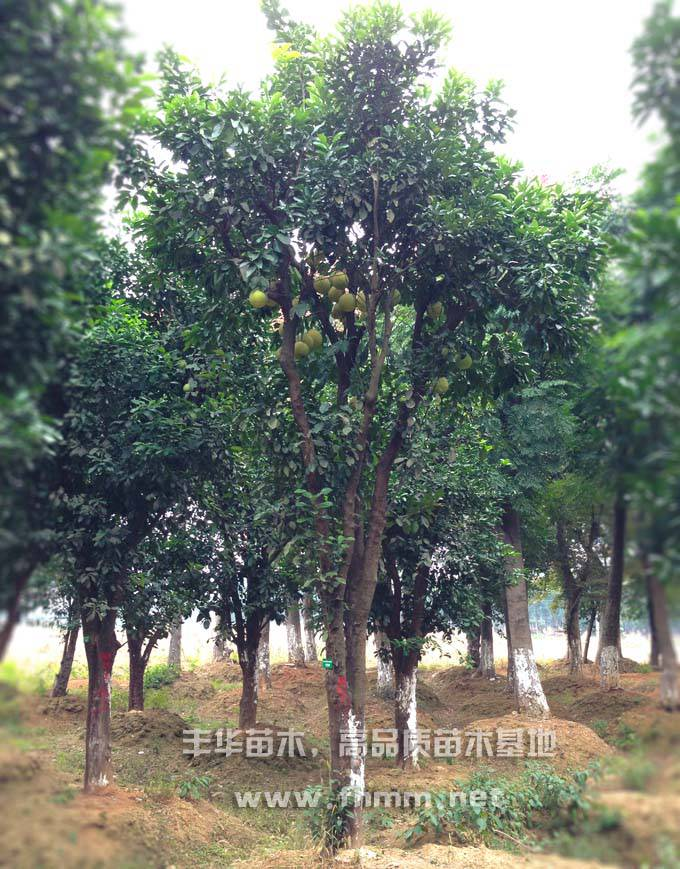 15-25移栽柚子树照片-3