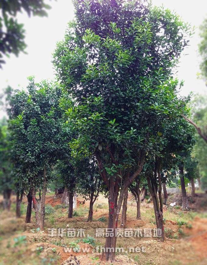 15-25移栽柚子树照片-4