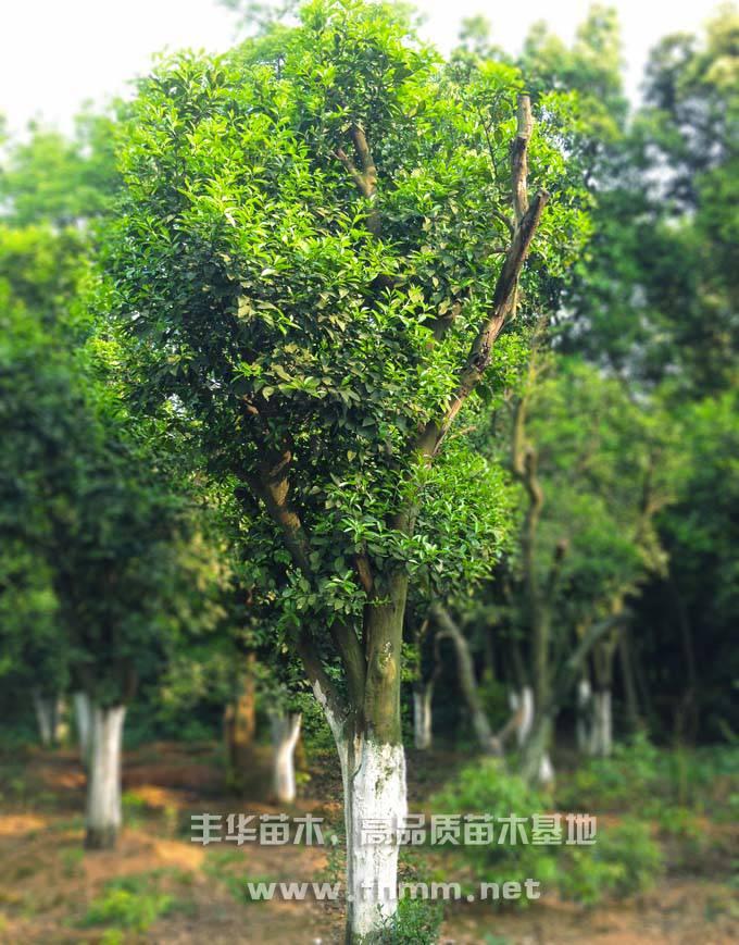 15-25公分移栽香泡树,全冠香泡树照片-1