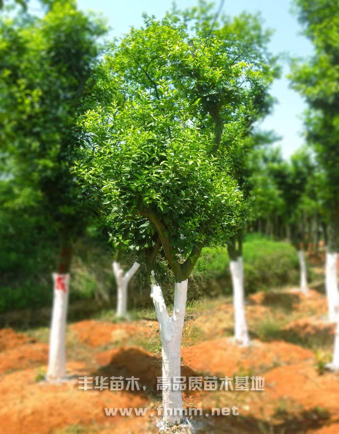 15-25公分移栽香泡树,全冠香泡树照片-3