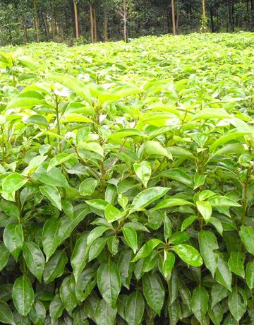 一年生香樟小苗,当年生香樟小苗,50公分到1米