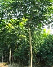 15公分,20公分,25公分,30公分 野生全冠无患子树