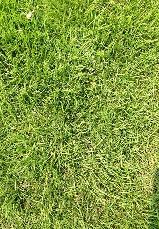 绿化草皮,马尼拉草皮