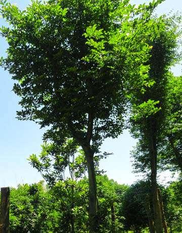野生全冠朴树