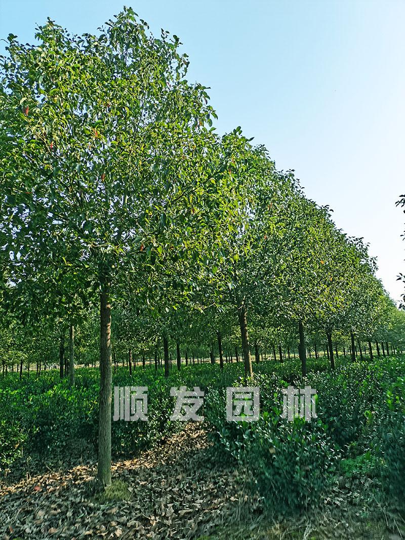 苗圃实拍全冠香樟