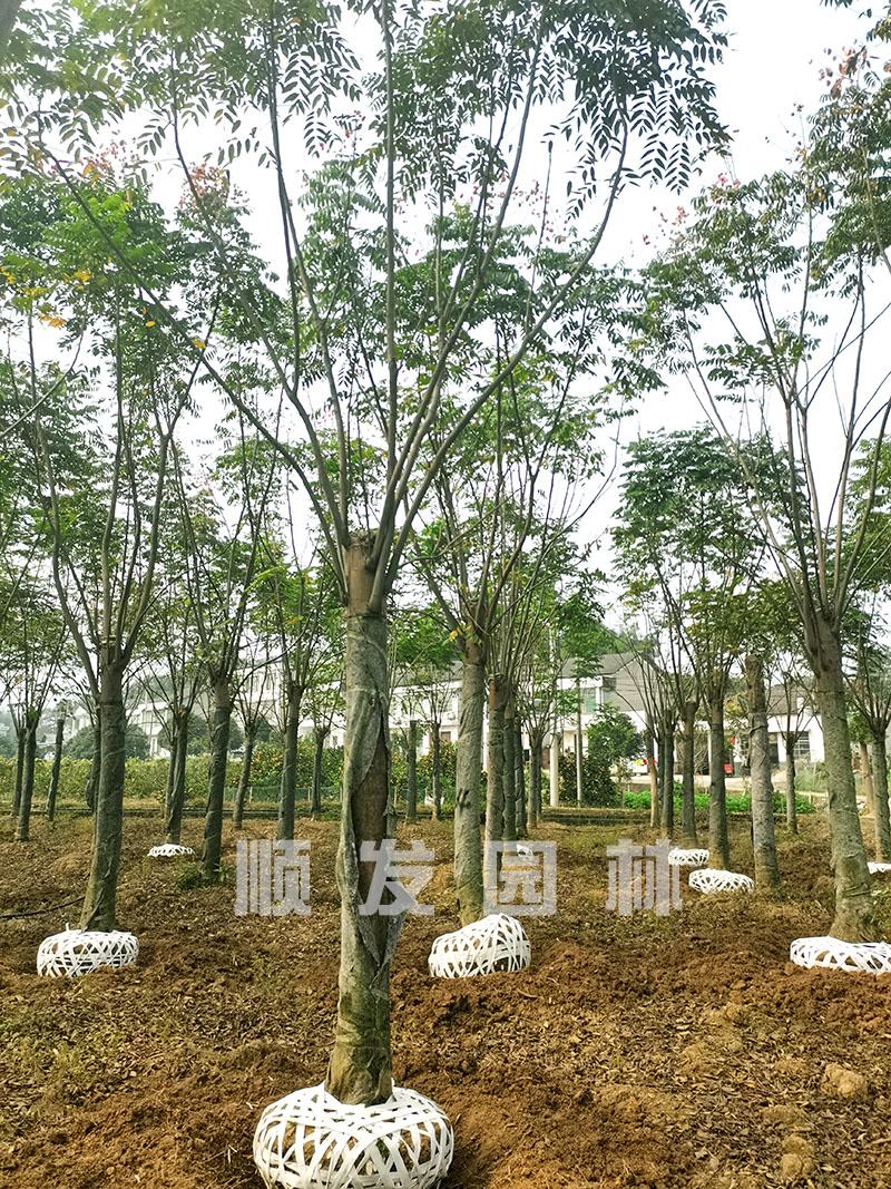 10-25公分精品切杆栾树移栽苗