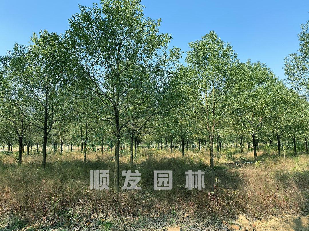 大规模全冠香樟苗培育基地,货源充足
